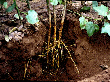 Primary_and_secondary_cotton_roots