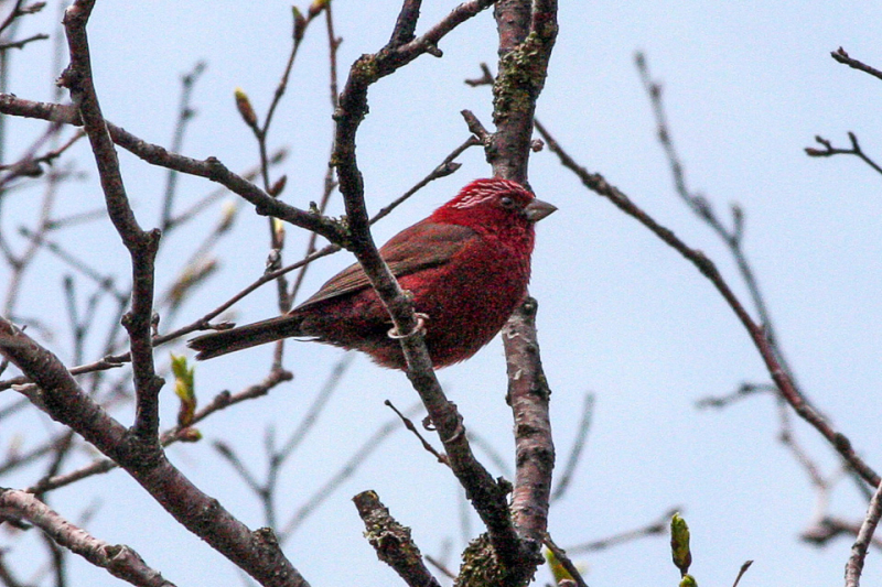 Vinaceous_Rosefinch