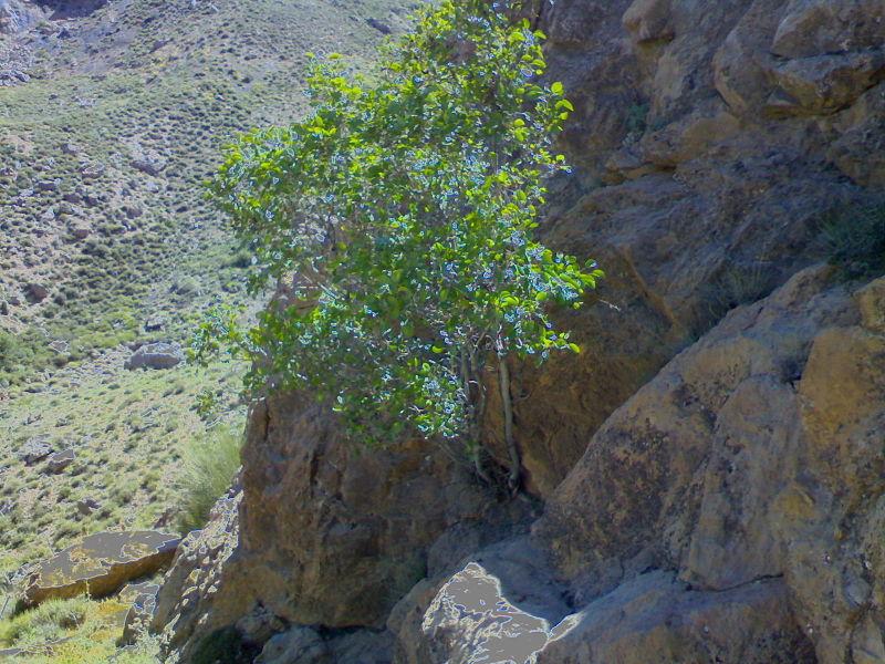 800px-Anjeer_Kouhi_tree