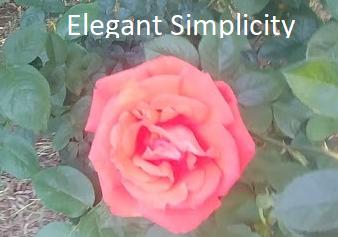 Elegant simplicity rose
